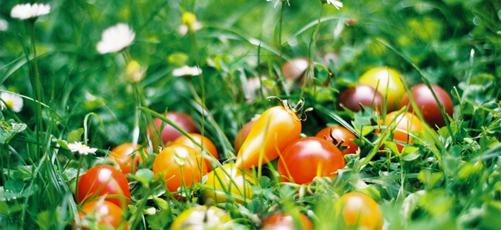 Tomates sur l'herbe
