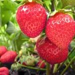 les fraises : votre allié minceur